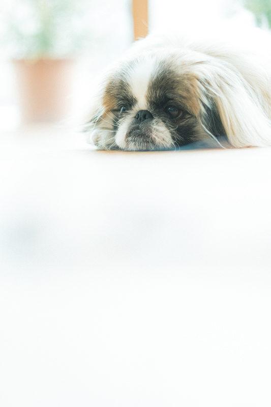 ペットフォト、犬!プリン