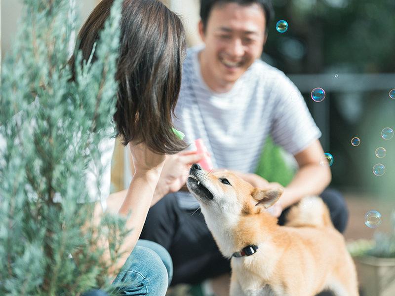 マタニティフォト、愛犬の柴犬と一緒に