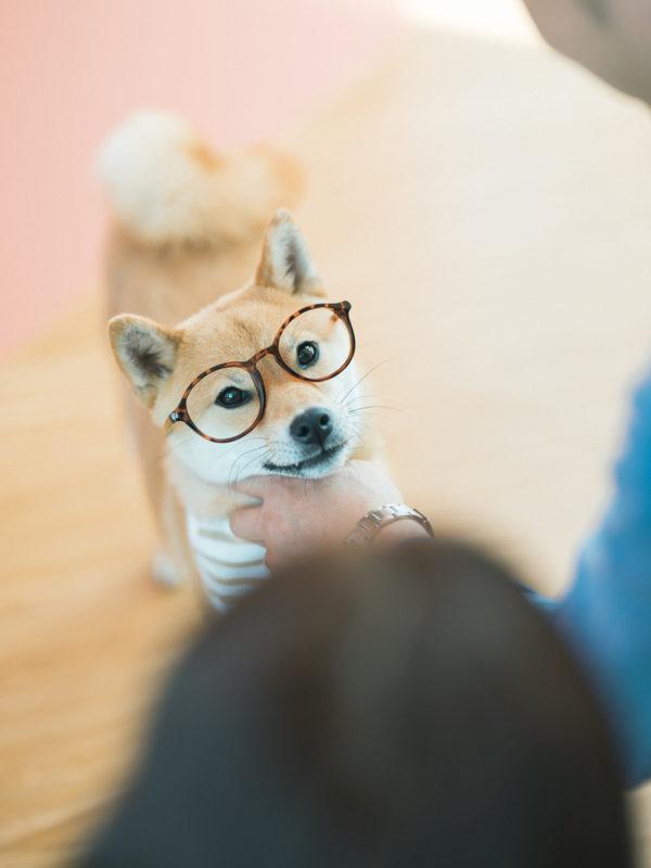 メガネ柴犬あずき