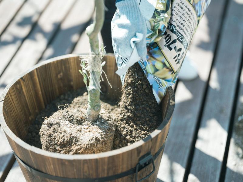 ガーデニング、オリーブ、土をかぶせる