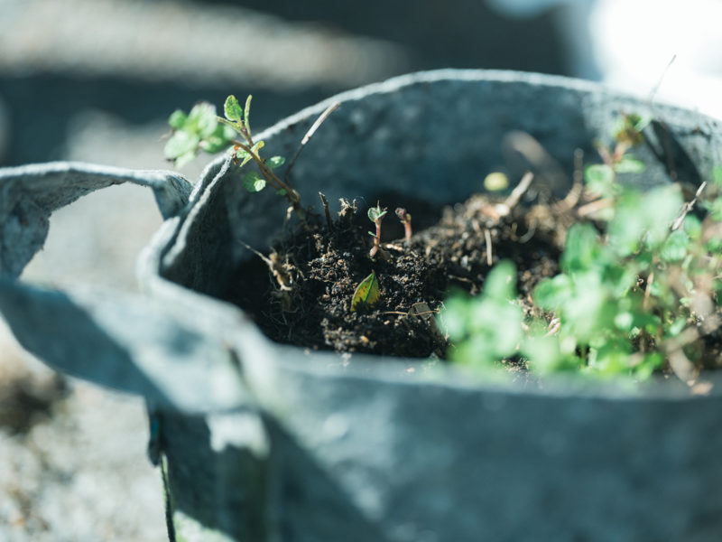 ガーデニング、ミント、新芽
