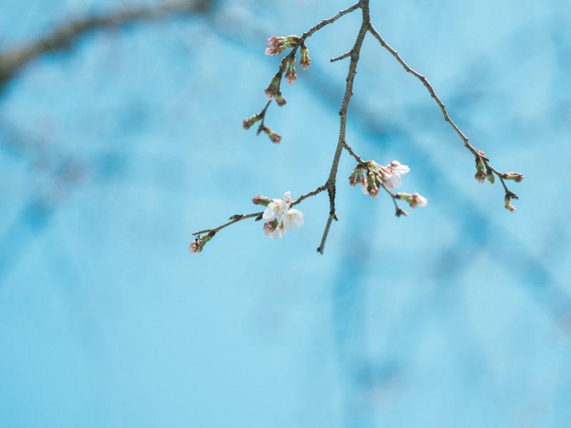 宇都宮二荒山神社、お宮参り!桜