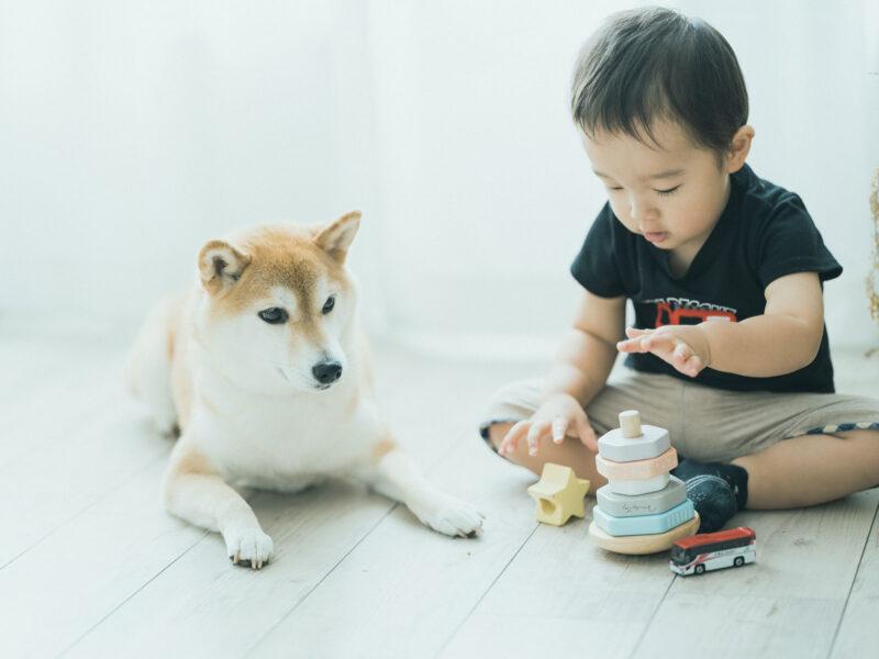 2歳バースデーフォト、さくくん!柴犬と
